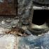 brud szczur w warszawie