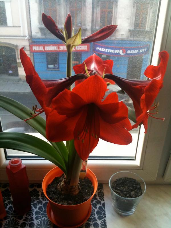 moje-kochane-amarilisy-hippeastrum-kwiaty-dla-wnetrza-13