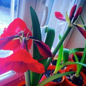 moje-kochane-amarilisy-hippeastrum-kwiaty-dla-wnetrza-19