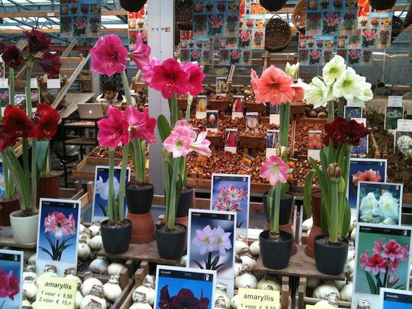moje-kochane-amarilisy-hippeastrum-kwiaty-dla-wnetrza-8