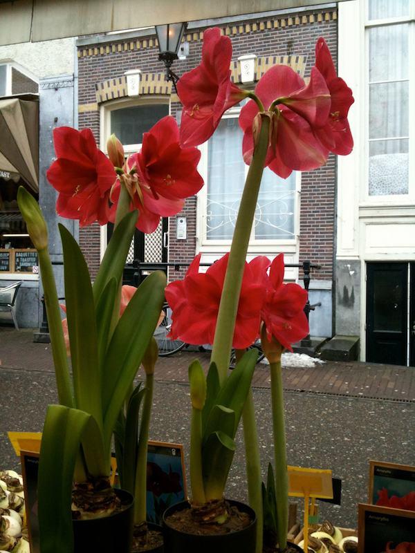 moje-kochane-amarilisy-hippeastrum-kwiaty-dla-wnetrza-9