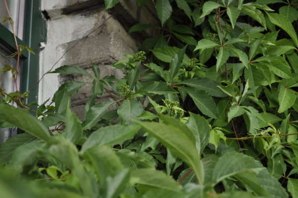 Bluszcz-ktory-nie-niszczy-elewacji-budynku-pomaga-w-odwilgotnieniu-zielen-wertykalna-10